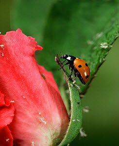 Seven spot ladybird (Cocinella septempunctata) feeding on greenfly on rose bud, UK  -  Stephen Dalton