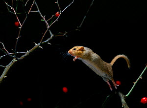 Dormouse {Muscardinus avellanarius} jumping from rose branch, UK - Stephen Dalton