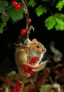 Dormouse {Muscardinus avellanarius} on Bryony berries, UK - Stephen Dalton