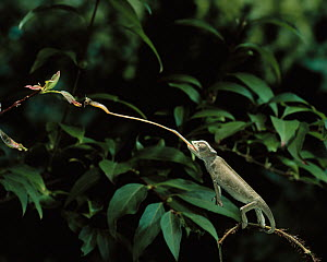 European chameleon {Chamaeleo chamaeleon} catching insect with tongue, controlled conditions, from Europe - Stephen Dalton