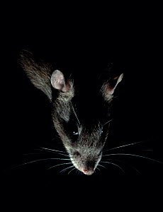 Brown rat {Rattus norvegicus} backlit at night, controlled conditions, UK - Stephen Dalton