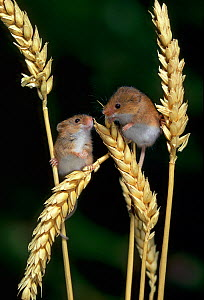 Two Harvest mice {Micromys minutus} on ears of corn, controlled conditions, UK - Stephen Dalton