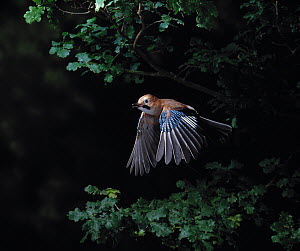 Jay {Garrulus glandarius} in flight in oak woodland, UK - Stephen Dalton