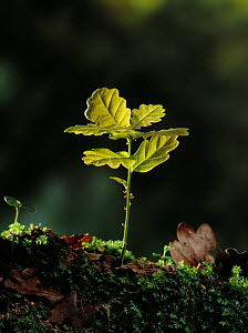 Oak tree {Quercus sp} seedling, UK - Stephen Dalton