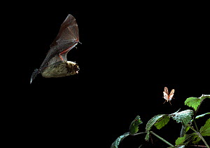 Common pipistrelle bat (Pipistrellus pipistrellus} flying towards insect prey at night, UK - Stephen Dalton