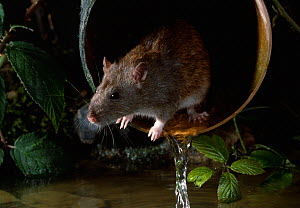 Brown rat {Rattus norvegicus} emerging from drainpipe, UK - Stephen Dalton