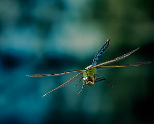 Emperor dragonfly {Anax imperator} male in flight, UK - Stephen Dalton