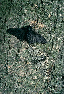 Peppered moth [Biston betularia} normal grey form and dark melanistic form. Dark form is better camouflaged in areas of pollution where lichen is absent, UK - Stephen Dalton