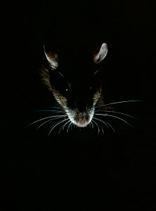 Brown rat {Rattus norvegicus} backlit, night, controlled conditions, UK - Stephen Dalton
