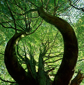 Looking up at European beech tree canopy {Fagus sylvatica} with contorted trunks and branches, Wakehurst Place, West Sussex, UK  -  Stephen Dalton