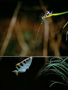 Archerfish {Toxotes sp} firing jet of water from mouth to dislodge insect prey, controlled conditions, from Asia and Australia  -  Stephen  Dalton