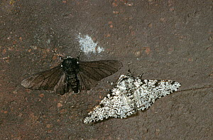 Peppered moths {Biston betularia} normal white and melanistic black forms. Melanistic form is better camouflaged in areas where lichen growth is inhibited by industrial pollution - Stephen Dalton