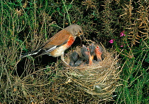 Linnet {Acanthis cannabina} male at nest with chicks, UK - Stephen Dalton