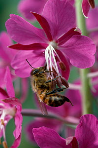 Honey bee {Apis mellifera} on Willowherb flower, UK - Stephen Dalton