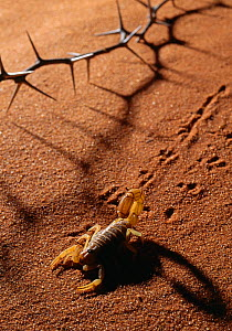 Thick tailed scorpion {Parabuthus capensis} leaving tracks on sand, South Africa  -  Stephen Dalton