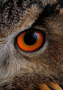 Eagle owl {Bubo bubo} close up of eye, controlled conditions, from Europe - Stephen Dalton