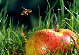 Common wasp {Vespula vulgaris} flying to fallen apple on grass, UK - Stephen Dalton