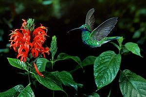 Sparkling violetear hummingbird {Colibri coruscans} flying to flower, controlled conditions, from South America  -  Stephen Dalton