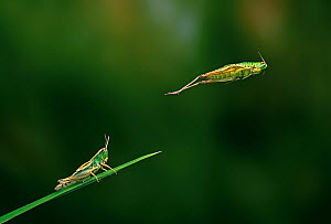 Meadow grasshopper {Chorthippus parellelus} jumping sequence, multiflash, UK  -  Stephen Dalton