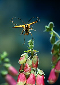 Spotted longhorn beetle {Rutpela maculata} in flight over foxglove flowers, UK  -  Stephen Dalton