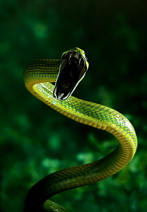 Green cat snake (Boiga cyanea) striking, a rear-fanged arboreal rainforest species, controlled conditions, from India and SE Asia  -  Stephen Dalton