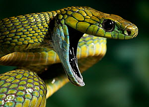 Green cat snake (Boiga cyanea) defensive behaviour, a rear-fanged arboreal rainforest species, controlled conditions, from India and SE Asia  -  Stephen Dalton