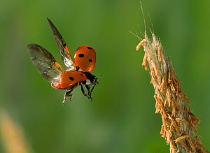Seven spot ladybird (Coccinella septempuncatata) taking off backwards from plant, UK  -  Stephen Dalton
