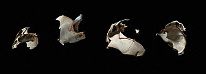 Greater horseshoe bat (Rhinolophus ferrum-equinum) flying, catching moth sequence, mulitflash, controlled conditions, from Europe  -  Stephen Dalton