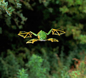 Wallace's flying frog (Rhacophorus nigropalmatus) gliding from tree, controlled conditions, from Malaysia and Indonesia  -  Stephen Dalton