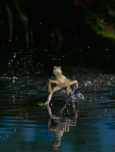 Giant sailfin dragon lizard {Hydrosaurus amboinensis} running over the surface of water, controlled conditions, from Indonesia - Stephen Dalton
