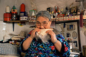 Inuit woman chewing on animal skin to soften it prior to sewing, Qappik, Arctic Bay, Nunavut, June 2002 - Sue Flood