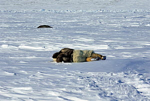 Hunter from Greenland in traditional animal skin clothing, including polar bear trousers, creeping up on a sleeping seal, using a traditional hunting technique, near Resolute, Nunavut, Canadian high A...  -  Sue Flood