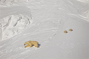 Female Polar bear (Ursus maritimus) with two young cubs, during filming for BBC series Planet Earth, Kong Karls Land, Svalbard Archipelago, Norwegian Arctic - Doug Allan