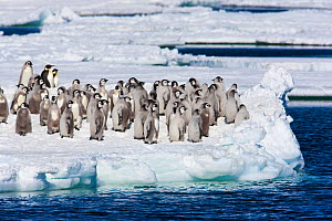 Emperor penguins (Aptenodytes forsteri) adults and chicks on ice, Cape Washington, Ross Sea, Antarctica, December  -  Sue Flood