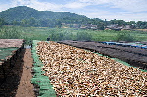 """Drying Cichlid fish (Copadichromis sp) known locally as """"Utaka"""", on racks on the shore of Lake Malawi, Malawi. March 2009  -  Will Watson"""