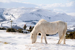 Domestic horse, grey Welsh Pony (Equus caballus) and walkers in snow on Offa's Dyke Path, Hergest Ridge, Wales, UK. February 2009 - Will Watson