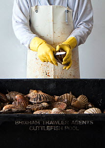 Cleaning and processing of King scallops (Pecten genus) prior to auction at Brixham Harbour, Devon, England, UK, 2009. - Toby Roxburgh