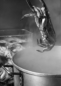 Cooked edible crab (Cancer pagurus) being lifted from a pot of boiling water, England, UK, 2009. - Toby Roxburgh