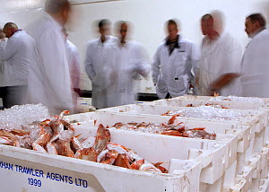 Buyers surround crates of Red gurnard (Trigla pini) at Brixham fish auction, where fresh fish are landed and sold for distribution around the UK and overseas. Devon, England, UK, 2009.  -  Toby Roxburgh