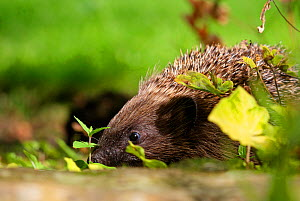 Hedgehog (Erinaceus europaeus) released adult foraging in garden, Sheffield, England, UK - Paul Hobson