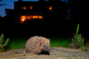 Hedgehog (Erinaceus europaeus) released adult in garden at night, with house in background, Peak District, England, UK  -  Paul Hobson