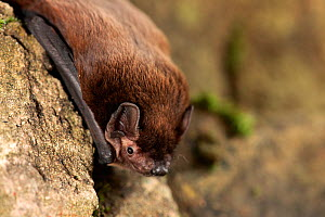 Leisler's bat (Nyctalus Leisleri) resting on wall, captive, UK - Paul Hobson