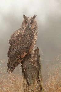 Long-eared owl (Asio otus) on pine tree stump, North Yorkshire, captive,  UK  -  Paul Hobson