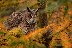Long-eared owl (Asio otus) in larch, captive, Yorkshire, UK - Paul Hobson
