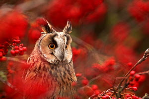 Long-eared owl (Asio otus) in Rowan tree with red berries, captive, Yorkshire, UK  -  Paul Hobson