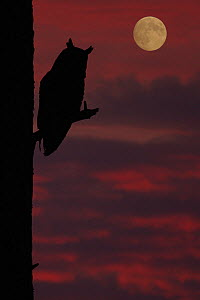 Long-eared owl (Asio otus) on tree stump, sillhouette in moonlight, captive, Yorkshire, UK  -  Paul Hobson