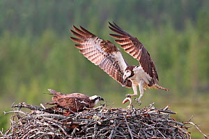 Osprey (Pandion haliaetus) male bringing fish to nest, Finland, Europe - Paul Hobson