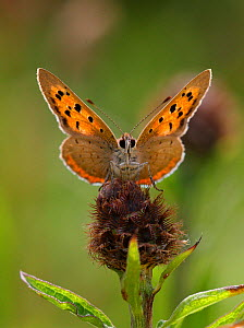 Small copper butterfly (Lycaena phlaeas) backlit, Derbyshire, UK - Paul Hobson