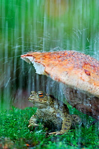 Common european toad (Bufo bufo) sheltering under toadstool from rain, wild toad in controlled conditions, Sheffield, Yorkshire, UK  -  Paul Hobson