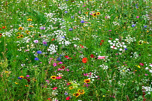 Wild flower meadow in city centre, Sheffield, Yorkshire, UK, August 2009 - Paul Hobson